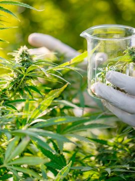researcher-taking-a-few-cannabis-buds-for-scientific-experiment-1050807206-2979bff02ee44ba085b468cf134446af